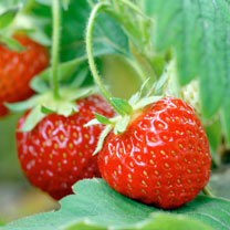Image of Strawberry Plants - Pegasus