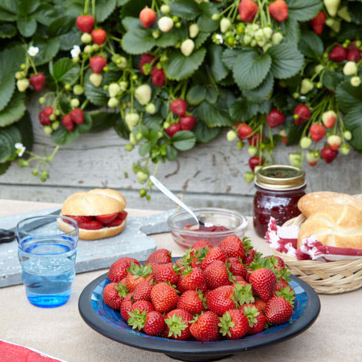 Strawberry Plants - F1 Delizz®