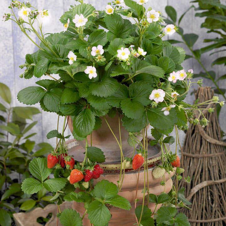 Strawberry Plant - Elan