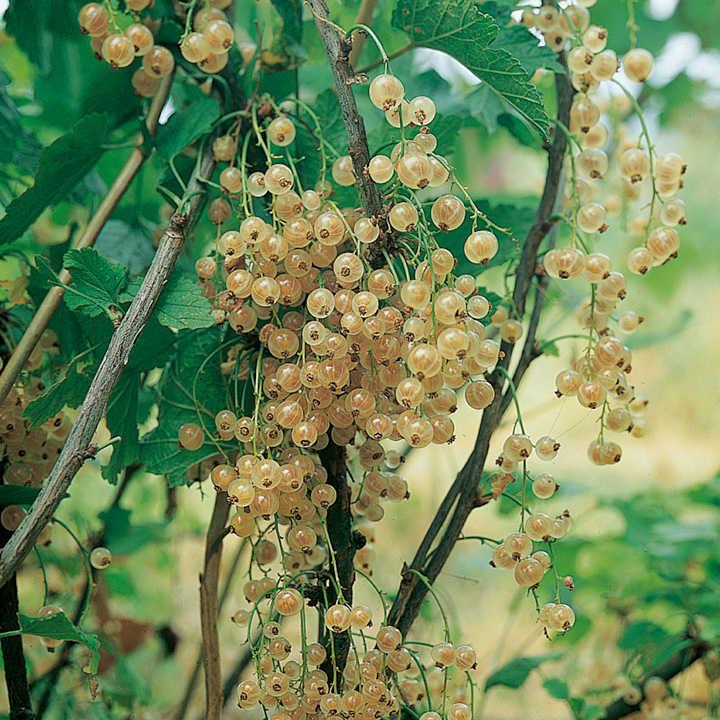 Whitecurrant Plant - Blanka