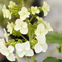 Hydrangea querc. Plant - Snow Queen®