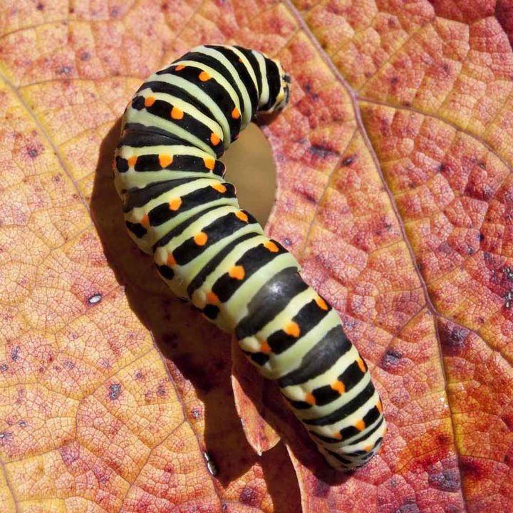 Nemasys Caterpillar and Codling Moth Killer