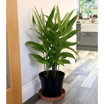 Lesser Galangal Plant