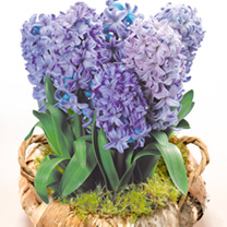 Image of Hyacinth Wreath - Blue