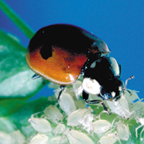 Image of Ladybirds