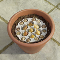 Plant-O-Tray Heart Preplanted Bulbs - Narcissus & Crocus