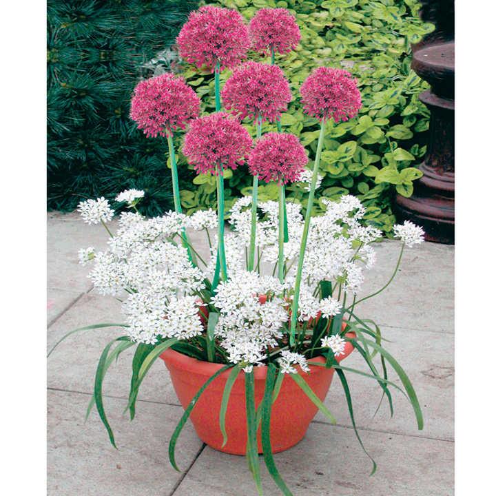 Plant-O-Tray Patio Pre-planted Bulbs - Allium