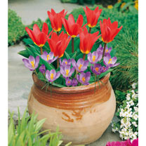 Plant-O-Tray Patio Pre-planted Bulbs -