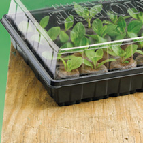 Image of 12 Cell Propagator with Aubergine Bonica Seed