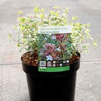 Abelia grandiflora Plant - Sparkling Silver