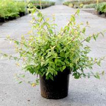 Image of Abelia Plant - 'Kaleidoscope'