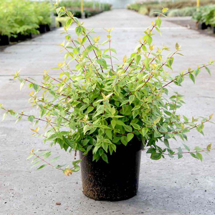 Abelia Plant - 'Kaleidoscope'