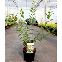 Image of Abelia mosanensis Plant - Monia