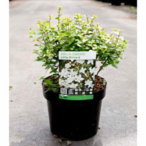 Abelia zanderi Plant - 'Little Richard'