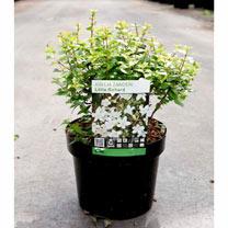 Image of Abelia zanderi Plant - 'Little Richard'