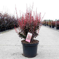 Berberis thunb. Plant - Rosy Rocket®
