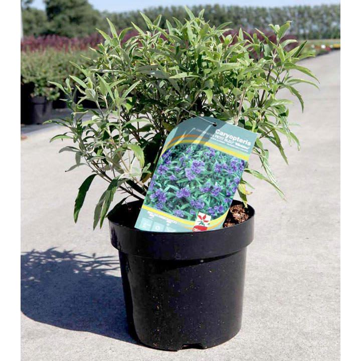 Caryopteris cland. Plant - Petit Bleu®