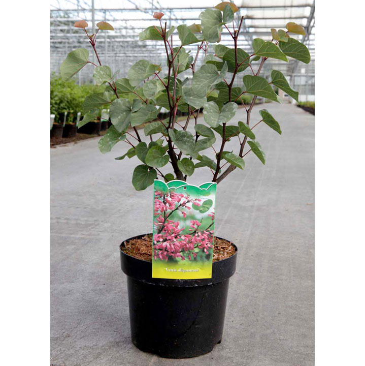 Cercis siliquastrum Plant