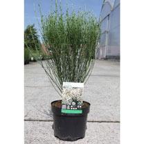 Cytisus Zeelandia Plant