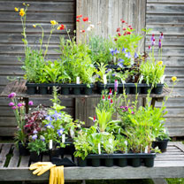 Chelsea Favourite Perennials (50 Plants)