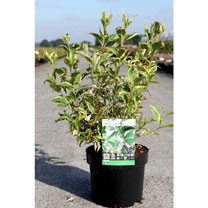 Weigela Plant - White Lightning