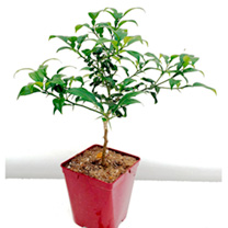 Lime Plant - Yuzu