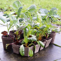 Biodegradable pots for propagation. The plant and pot can be planted straight into the ground with no transplantation shock or root disturbance. Pots
