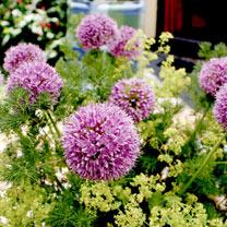 Image of Allium (Edible) Seeds - Quattro F1