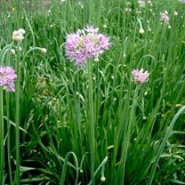 Allium (Edible) Seeds - Quattro F1