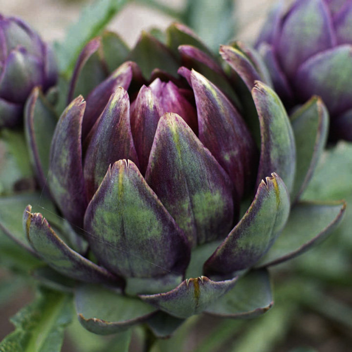 Artichoke Plants - Purple Globe