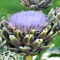 Artichoke Plant - Purple Globe