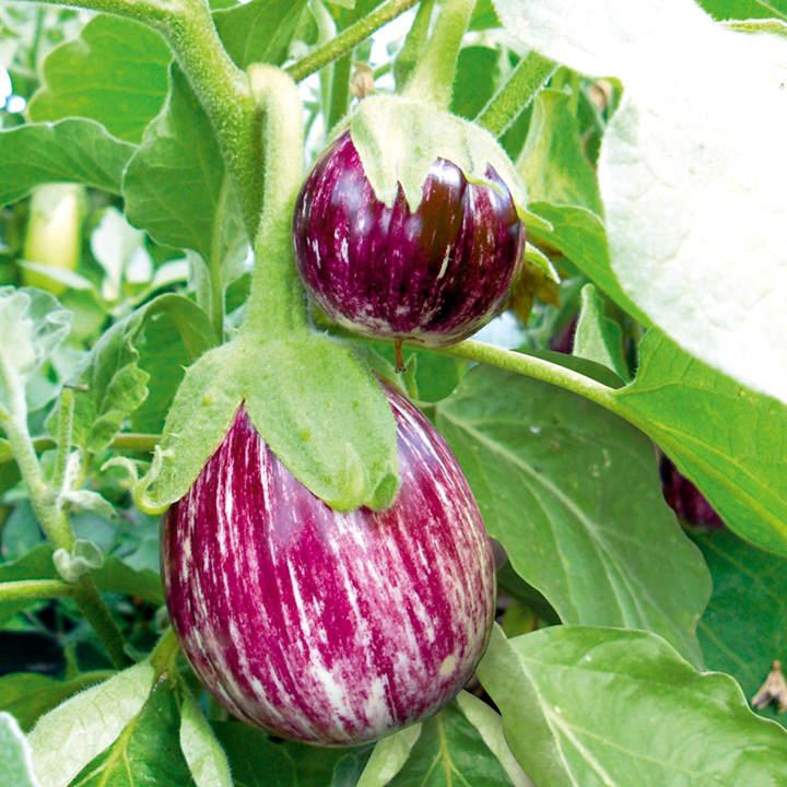 Aubergine Pinstripe 3 All Vegetable Plants Vegetable