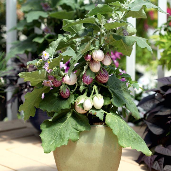 Aubergine Plants - F1 Pinstripe