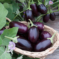 A compact aubergine that's ideal for container growing, bearing clusters of delicious, glossy, dark purple fruits throughout summer.