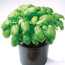 Basil Seeds - Gecofure