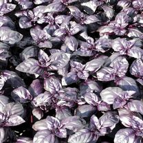Herb Seeds - Basil Summer Surprise
