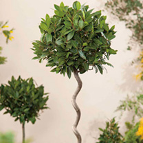 Image of Bay Twisted Stem Tree - Laurus Nobilis