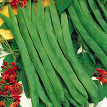 Runner Bean Seeds - Prizewinner