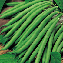 Bean (Dwarf French) Plants - Safari