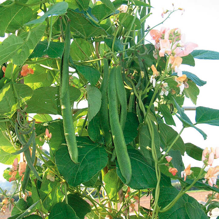 Runner Bean Seeds - Celebration