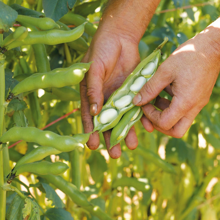 Broad Bean Seeds - Express