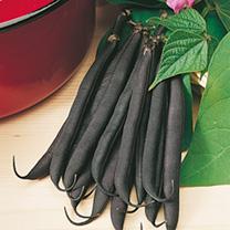 Image of Dwarf French Bean Seeds - Purple Teepee