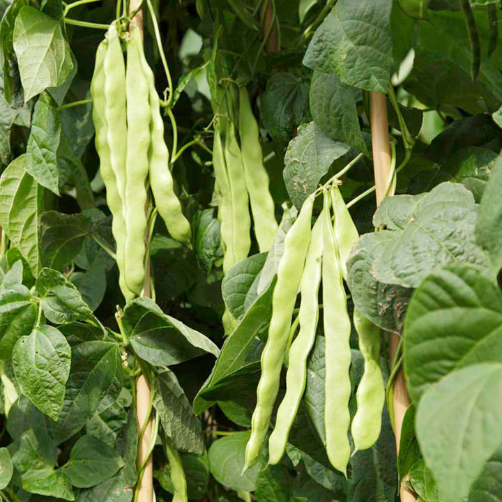 Climbing French Bean Seeds - Algarve