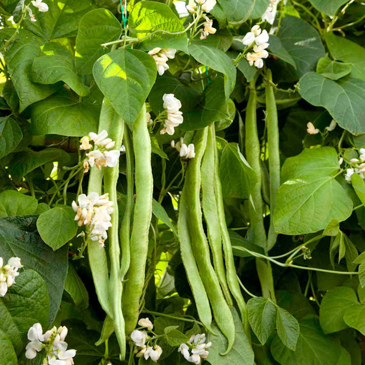 Runner Bean Seeds - Mergoles