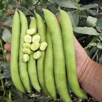 Broad Bean Plants - Luz de Otono