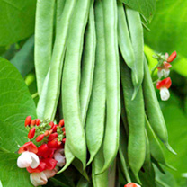 Runner Bean Seeds - Tenderstar