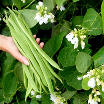 Runner Bean Seeds - Snowstorm