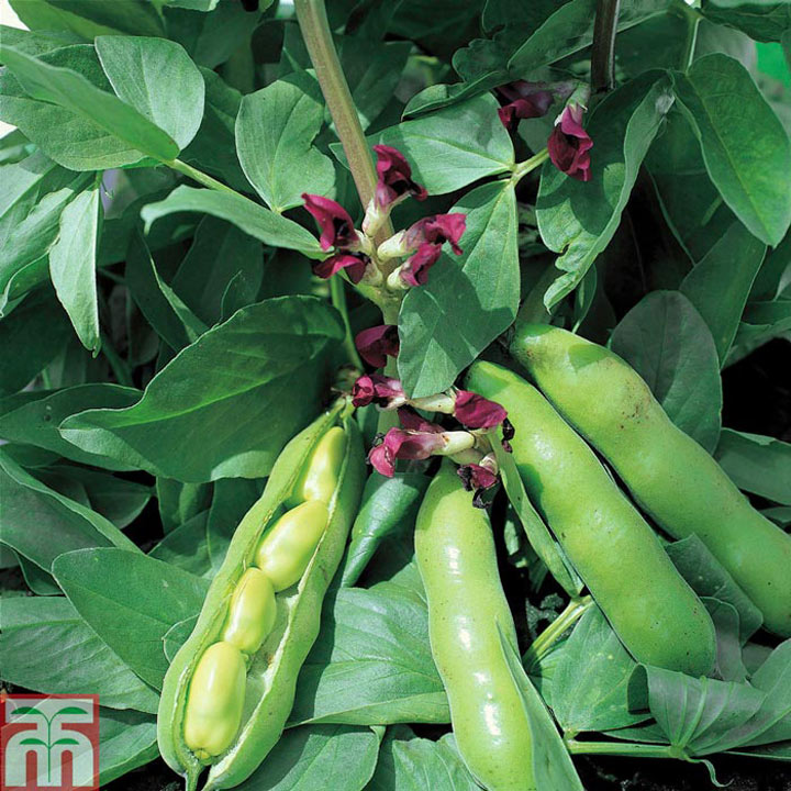 Bean (Broad) Seeds - Crimson Flowered