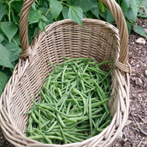 Bean French (Dwarf) (Organic) Seeds - Speedy