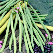 Bean French Climbing (Organic) Seeds - Cobra